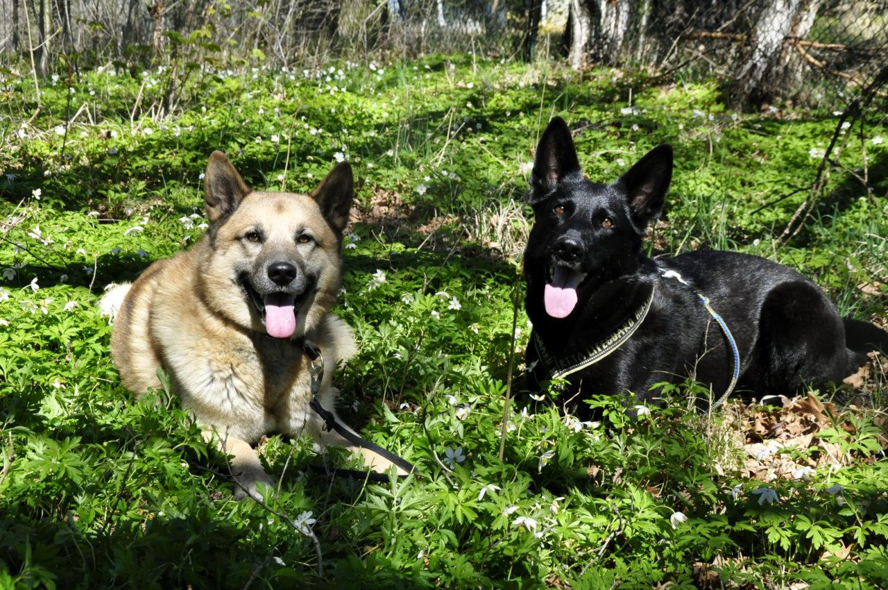 Hälleforshunden Atlas och Schäfern Gala