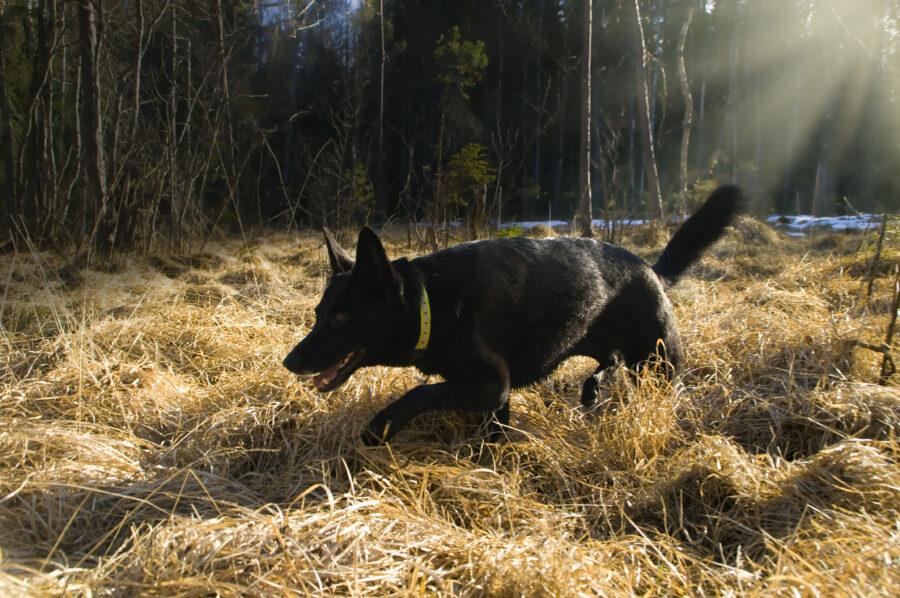svart schäfer