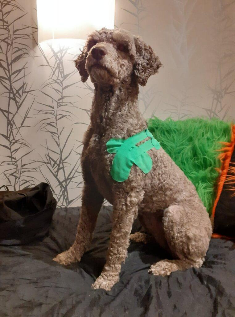 Kinesiologitejp på hund Portugisisk vatten hund